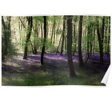 Bluebell Morning Woodlands Poster
