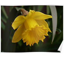 """Cyclamineus Tete a Tete""  Narcissus Daffodil  Poster"