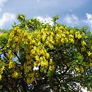 Glory of Summer - Laburnum Blossoms by BlueMoonRose