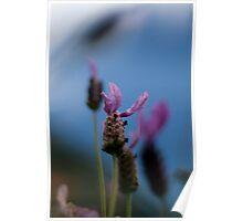 More Lavender Poster