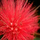 Red powder puff by Celeste Mookherjee