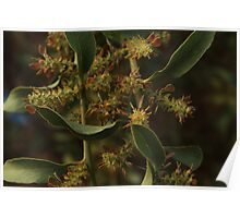 Davesia latifolia - Hop Bitter-pea, pods, Westgate Park Poster