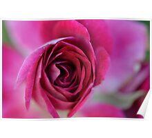 Burgandy rose Poster