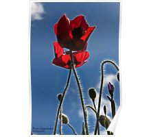 Poppies in the Afternoon Poster