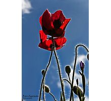 Poppies in the Afternoon Photographic Print