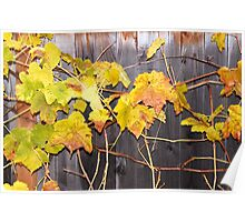 Grape Vines in Fall Poster