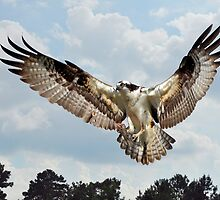 Osprey With Fish In Talons by Kathy Baccari