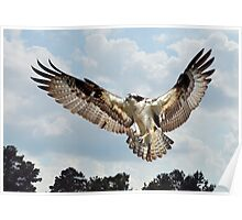 Osprey With Fish In Talons Poster
