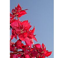 Pink Red Blooming Bougainvilleas Against A Blue Sky Photographic Print