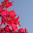 Pink Red Blooming Bougainvilleas Against A Blue Sky by taiche