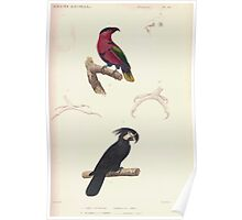 Édouard Traviès or Edouard Travies Cuvier 56 Lori tricolore et Perroquet à trompe Poster