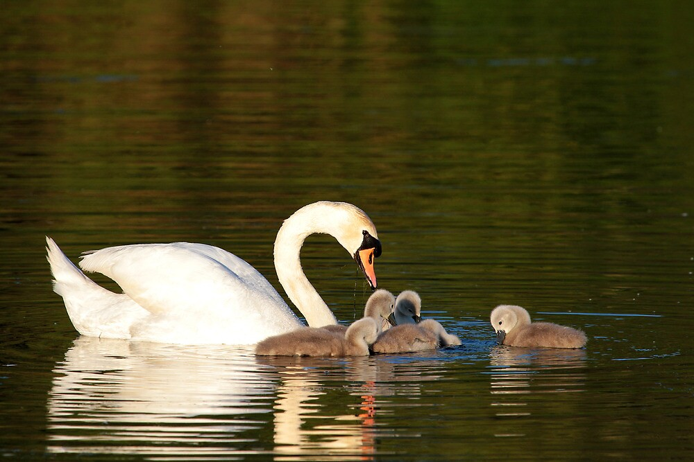 Mother Swan with Cygnets, Cleator Pond by Jan Fialkowski