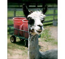 Hi Llama, Ho Llama Photographic Print