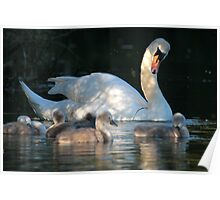 Mother Swan & Baby Cygnets, Cleator Pond Poster