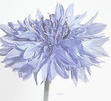 botanica - cornflower by Floralynne