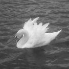 Lone Swan by joerelic37