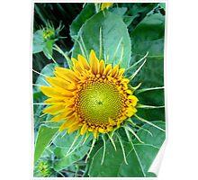 Sunflower bonnet Poster
