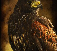 Harris Hawk by Don Alexander Lumsden (Echo7)