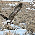 Bald Eagle  by Robbie Knight