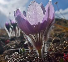 April - Pasque flower by bberwyn
