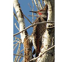 Northern Flicker (Red-shafted)~ Male Photographic Print