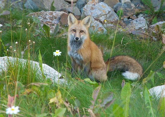 September - Friendly Fox. by bberwyn