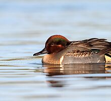 Tealicious / Green Winged Teal Drake by Gary Fairhead