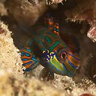 Mandarinfish by Fatfish Photography