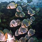 Batfish Ladder by Fatfish Photography