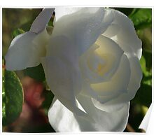 white rose in the morning  Poster
