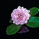Miniature Rose by Tom Newman