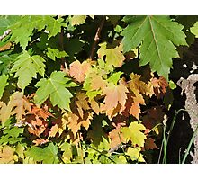Autumn Leaves (Twycross) Photographic Print