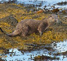 Scottish coastal otter by wildlifephoto
