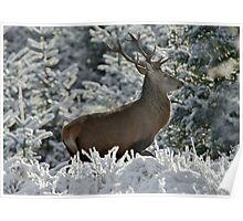 Red Deer stag in winter Poster