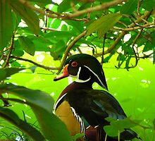 Wood Duck Portrait by creatively