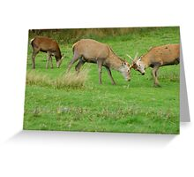 Young Red Deer stags practicing the Rut, Lochranza, Isle of Arran Greeting Card