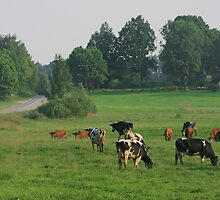 Cows herd. by fotorobs