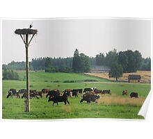 Cows herd Poster