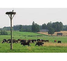 Cows herd Photographic Print