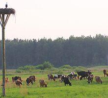 Cows herd by fotorobs
