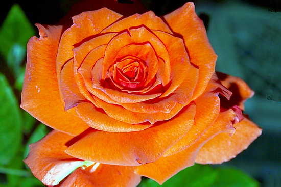 Garden Rose by ♥⊱ B. Randi Bailey