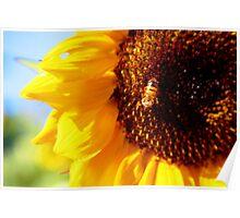 maco sunflower Poster