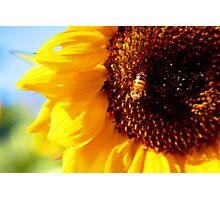 maco sunflower Photographic Print