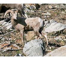 Blond Desert Big Horn Sheep, Standsbury Mountain Utah Photographic Print