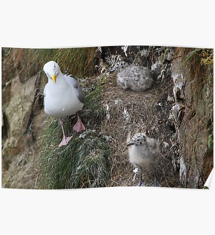 Herring Gull and chicks Poster