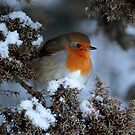 A Lakeland Robin Red Breast  by Jan Fialkowski