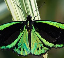 Common Green Birdwing by Pat Heddles
