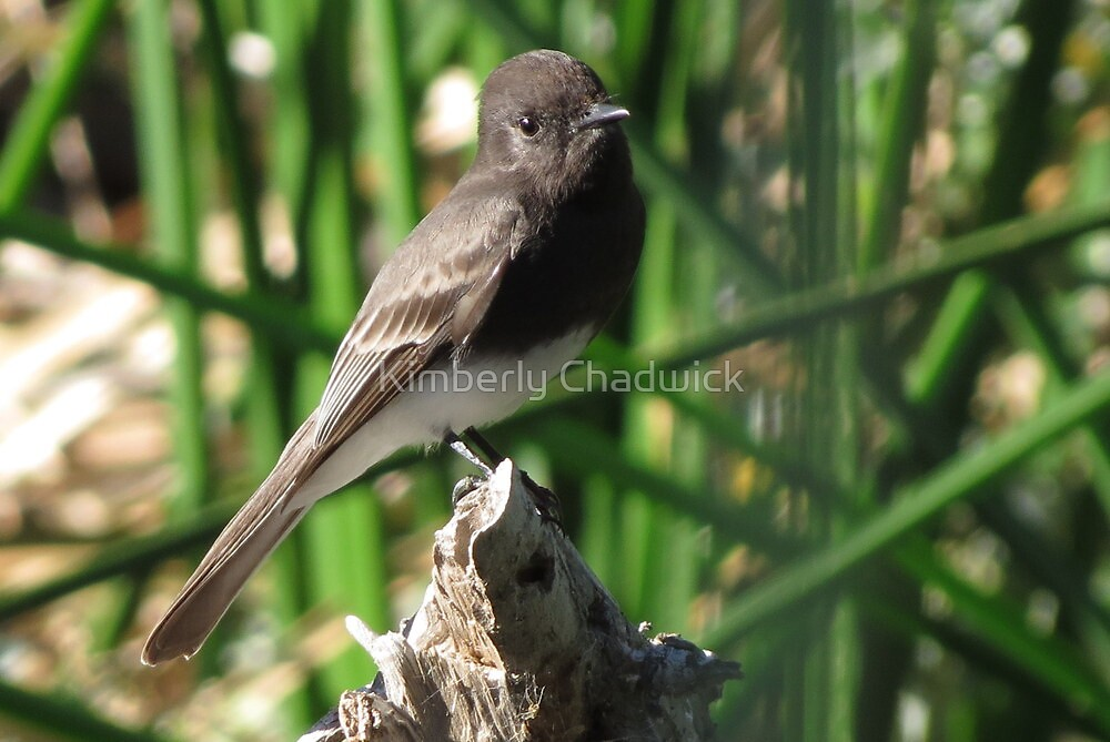 Black Phoebe by Kimberly Chadwick