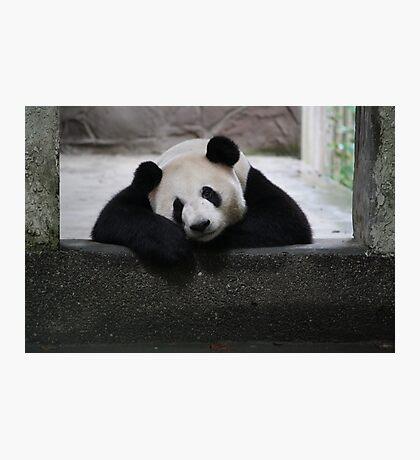 Pandas: a life in captivity Photographic Print