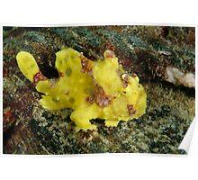 Warty frogfish - Antennarius maculatus Poster